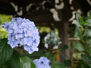 白山神社 あじさいの花