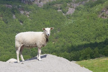 Fjord meadow and sheep 032
