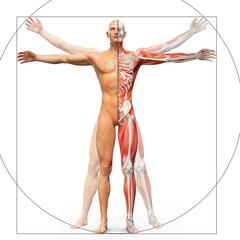Human anatomy displayed as the vitruvian man
