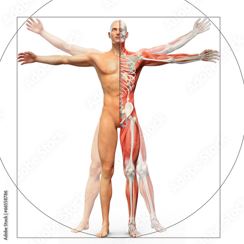 Ludzka anatomia wyświetlana jako człowiek witruwiański