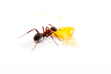 Close up of ant  on white.