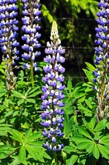 Lupins in flower © Arena Photo UK