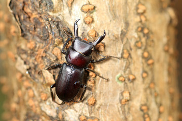 Dorcus striatipennis Stag beetle in Japan
