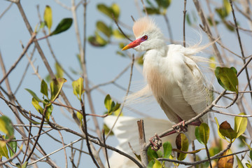 A Cattle Egret (Bubulcus ibis) in breeding plumage with erect fe