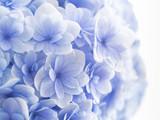 淡い青紫の紫陽花