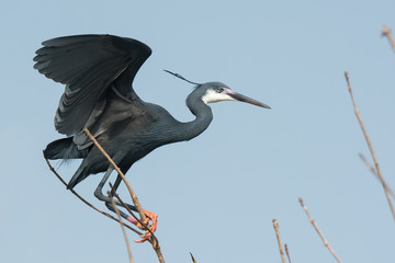 A Western Reef Heron (Egretta gularis) perched precariously