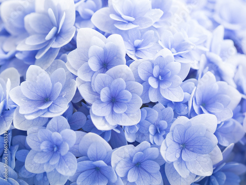 Foto op Plexiglas Hydrangea 美しい紫陽花