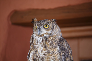 Horned Owl at Angle