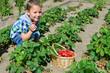 kleinkind erntet Erdbeeren