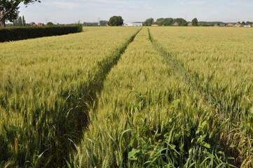 Field of wheat with tractor trail
