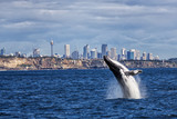Breaching Humpback Whale and Sydney skyline