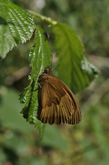 Meadown brown butterfly on leave of stingy nettle