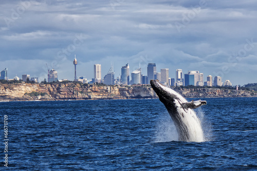 Poszter Breaching Humpback Whale and Sydney skyline
