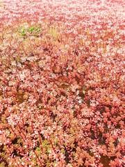 Korallen Mauerpfeffer Sedum-album-Coral-Carpet