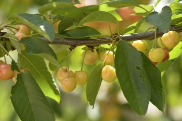 Organic cherries on a branch