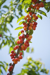 Organic cherries on a branch