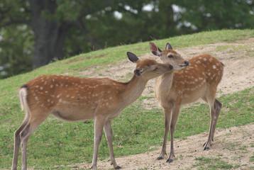 仲良しの鹿