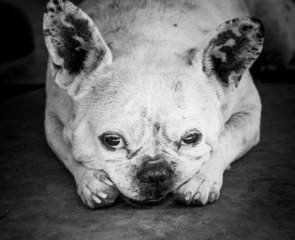 Bulldog with sad eyes looking into  camera
