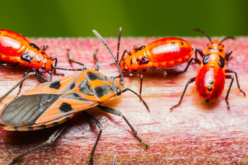Family cotton stainer bug