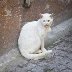 Albino street cat