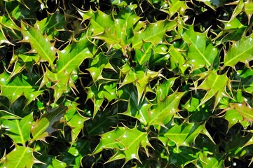 Vibrant Holly leaves © Arena Photo UK