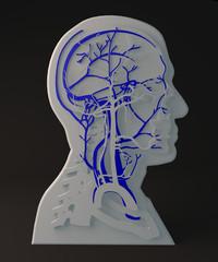 Vene facciali apparato circolatorio, sezione testa