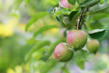 Apple fruits in garden after rain.