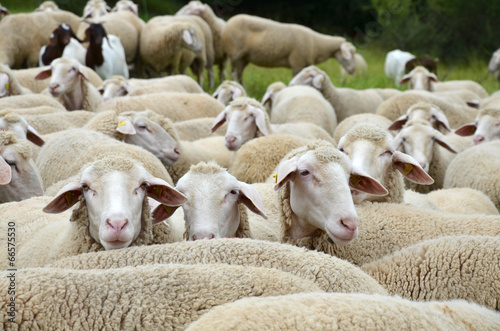 Papiers peints Sheep Schafherde