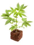 Cannabis sativum