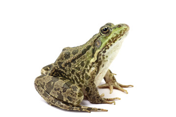 green spotted marsh frog on white background