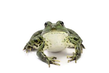 striped dark green frog on a white background