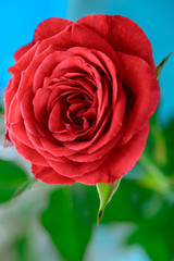 red rose bloom by gift with leaves