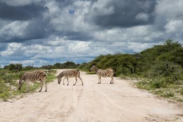 Zebras crossing gravel road