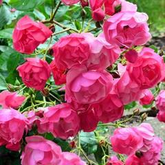 Üppige Rosenblüten nach dem Regen