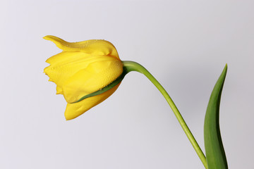 TULIPAN AMARILLO - TULIP  YELLOW