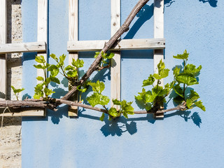 Stone wall with climbing vine plant and its shadow.