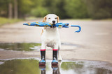 dog wearing rain boots and holding an umbrella