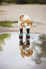 dog in rain boots looks in the puddle