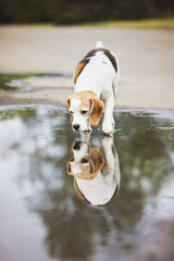 beagle dog looking at his reflection in water