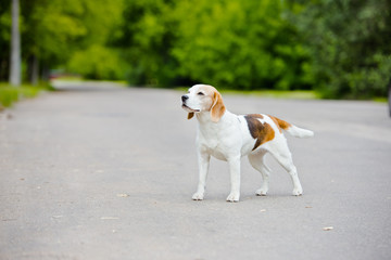 beagle dog standing on the road
