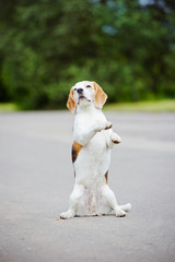 beagle dog begging