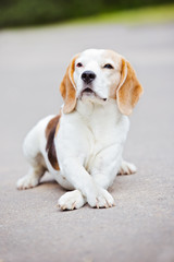 beagle dog with crossed paws