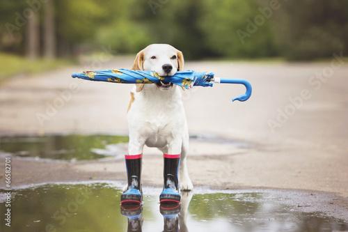 Papiers peints Porter dog wearing rain boots and holding an umbrella