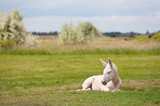 lonesome white donkey lying on the pasture poster