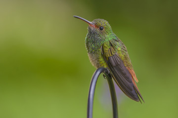 Wary Rufous-tailed Hummingbird