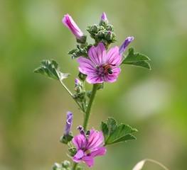 insetto tra fiore di malva