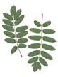 leaves of rowan tree