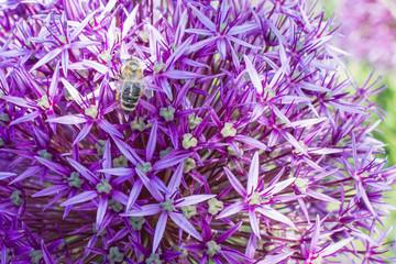 Allium mit Bestäubungsgast