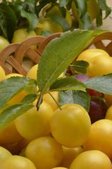 Prunus cerasifera Cherry plum Crvenolisna šljiva Kiraz eriği