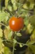 Cherry tomato growing on a vine